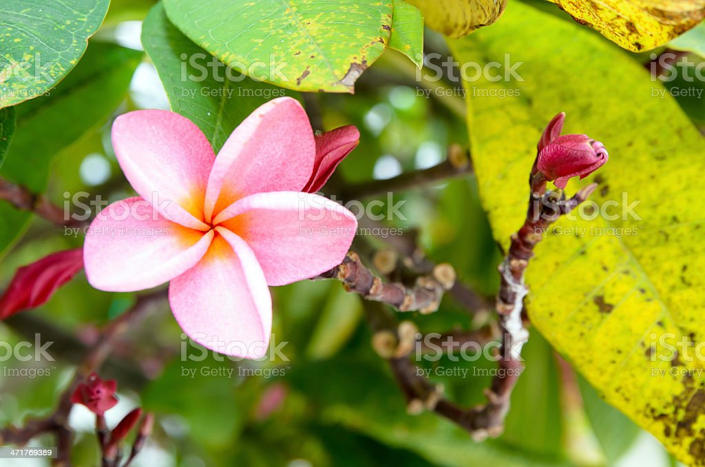 The Pink plumeria flower and buds on tree. royalty-free stock photo