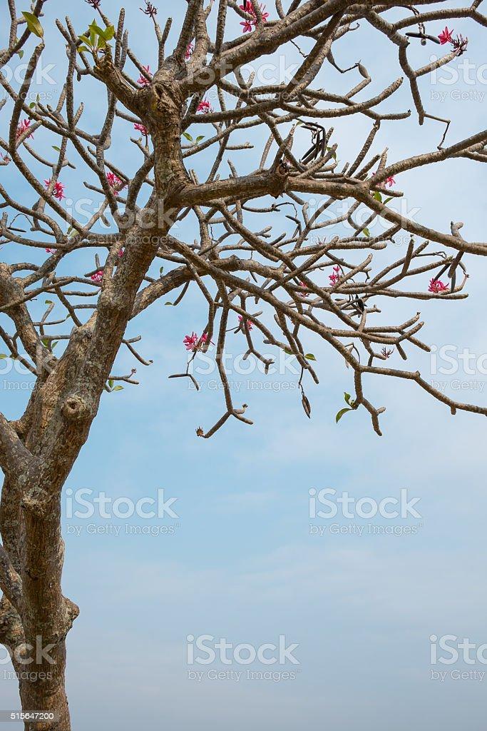 Der rosa Plumeria mit blauer Himmel Lizenzfreies stock-foto