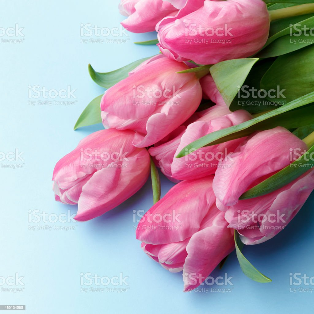 The pink tulips on a blue background royalty-free stock photo