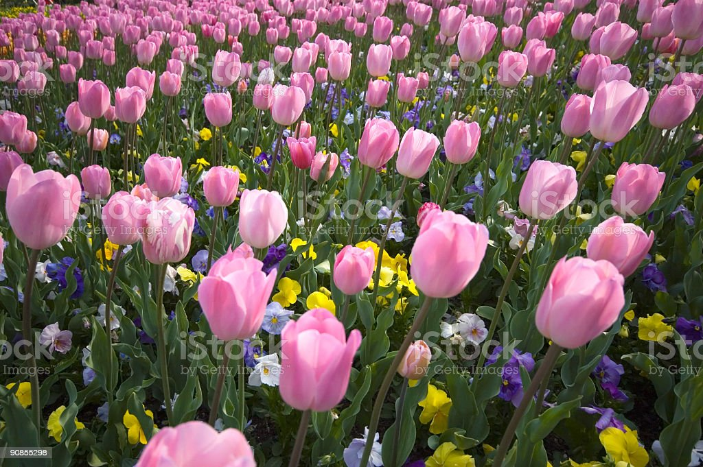 The Pink Tulips royalty-free stock photo