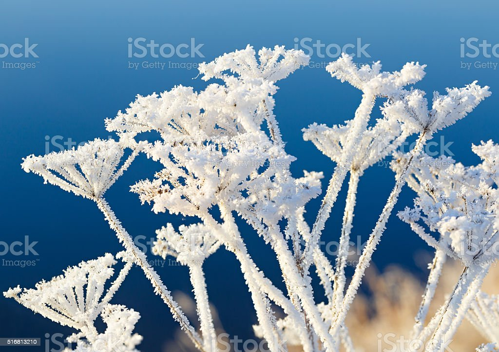 The plant is covered with thick snowflakes. The frozen fog stock photo