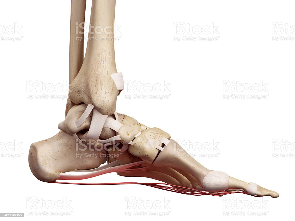 The plantar aponeurosis ligament stock photo