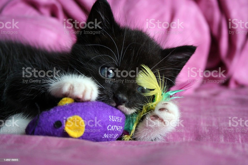 The playing kitten stock photo