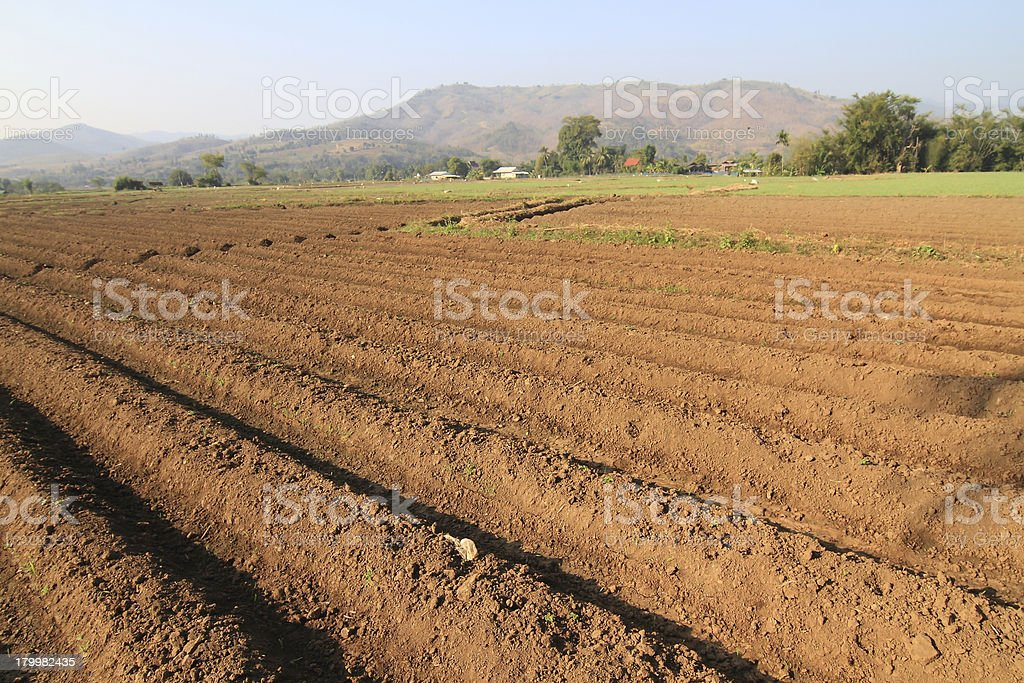 the plowed agricultural field on which grow up potatoes royalty-free stock photo
