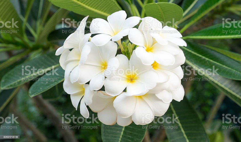 Die Plumeria Blumenstrauß Lizenzfreies stock-foto