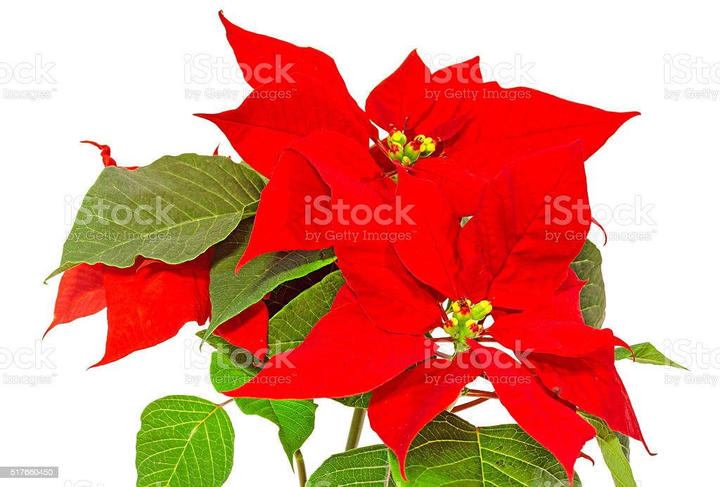 The poinsettia (Euphorbia pulcherrima) Christmas flower stock photo