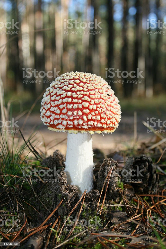 The poisonous fungus with red head. royalty-free stock photo