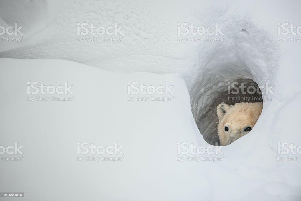 The polar bear looks out of a snow den stock photo