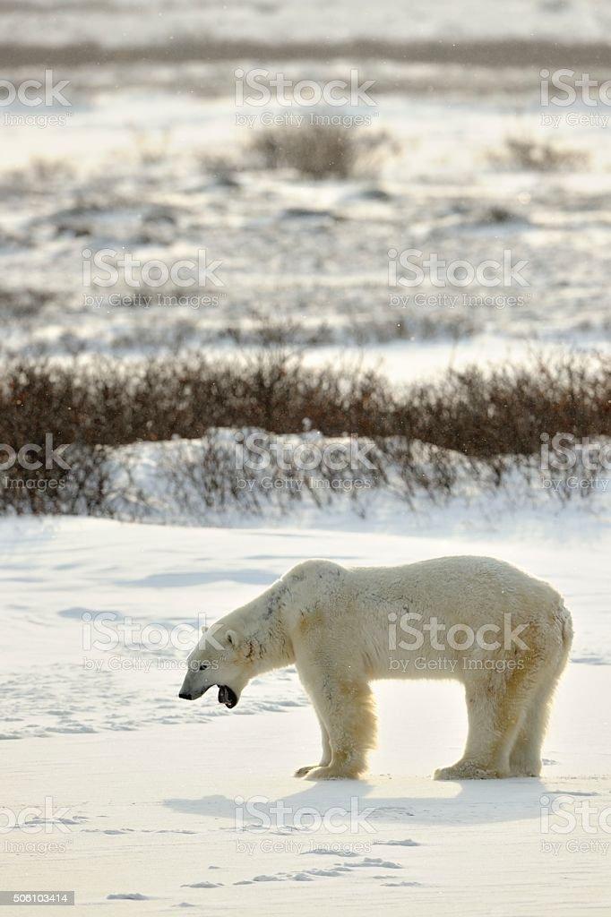 The polar bear on snow tundra stock photo