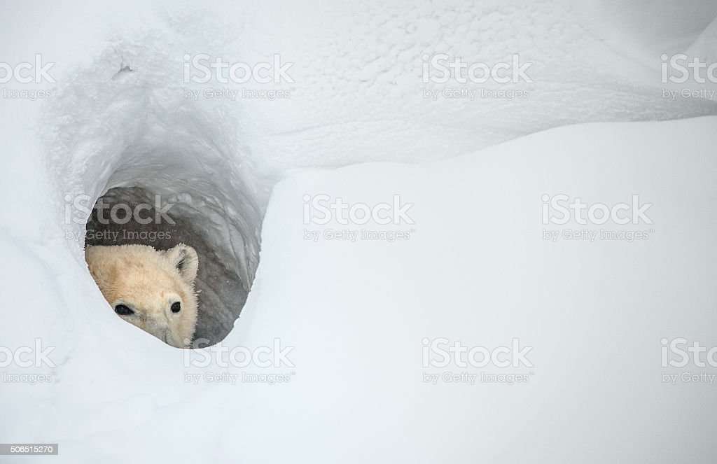 The polar bear stock photo