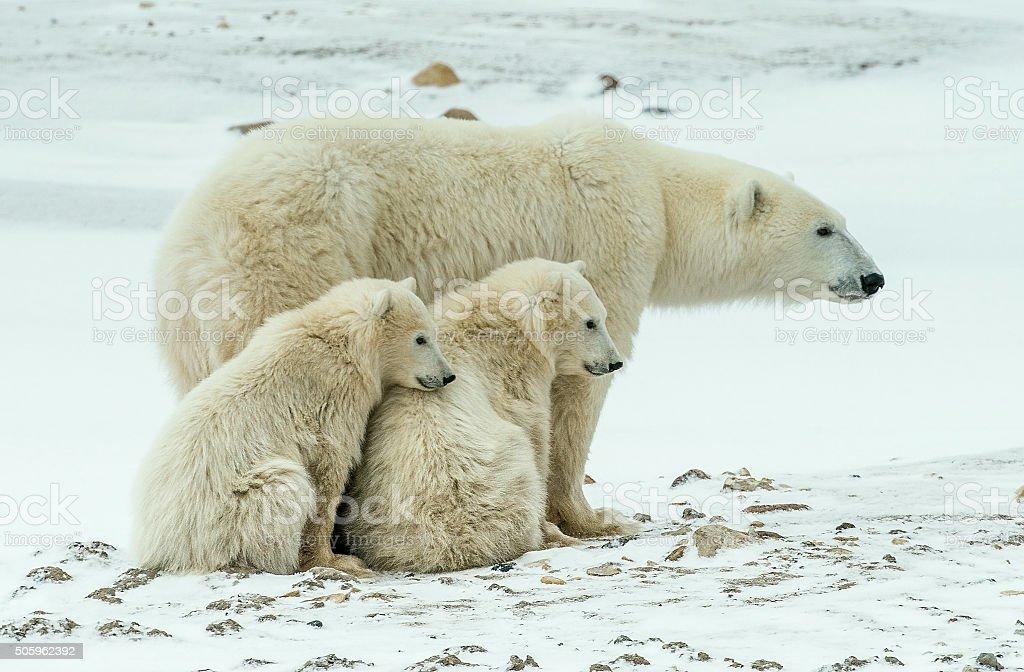 The Polar she-bear with cubs. stock photo