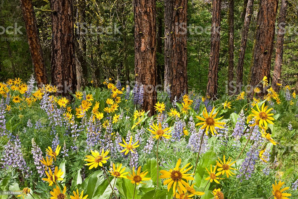 Wildflowers in a Ponderosa Pine Forest stock photo