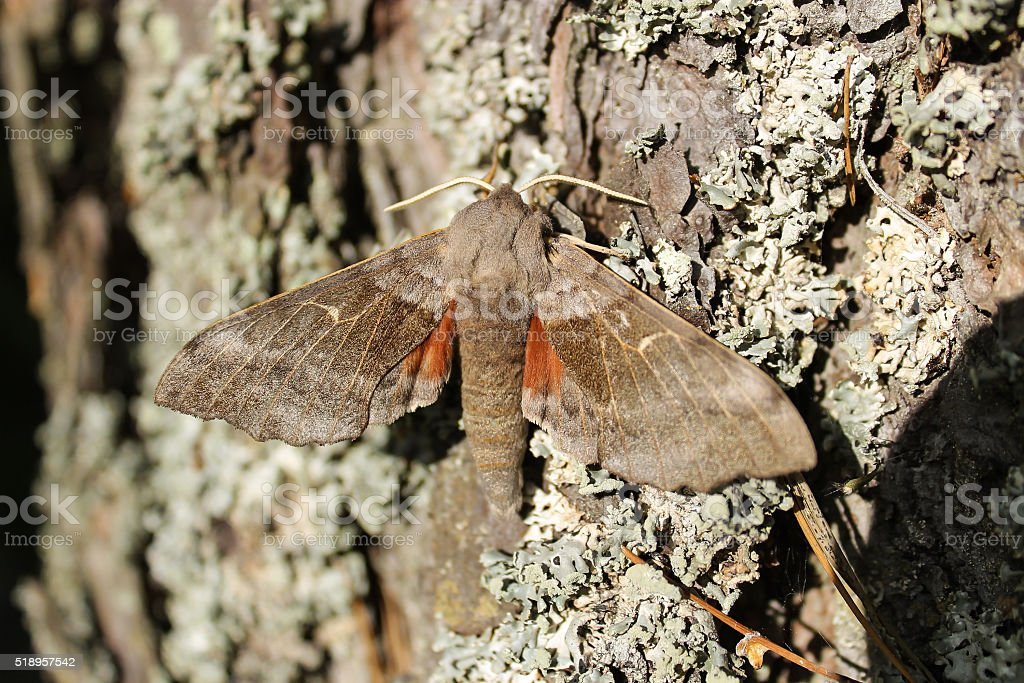 The poplar hawk-moth in a tree. stock photo