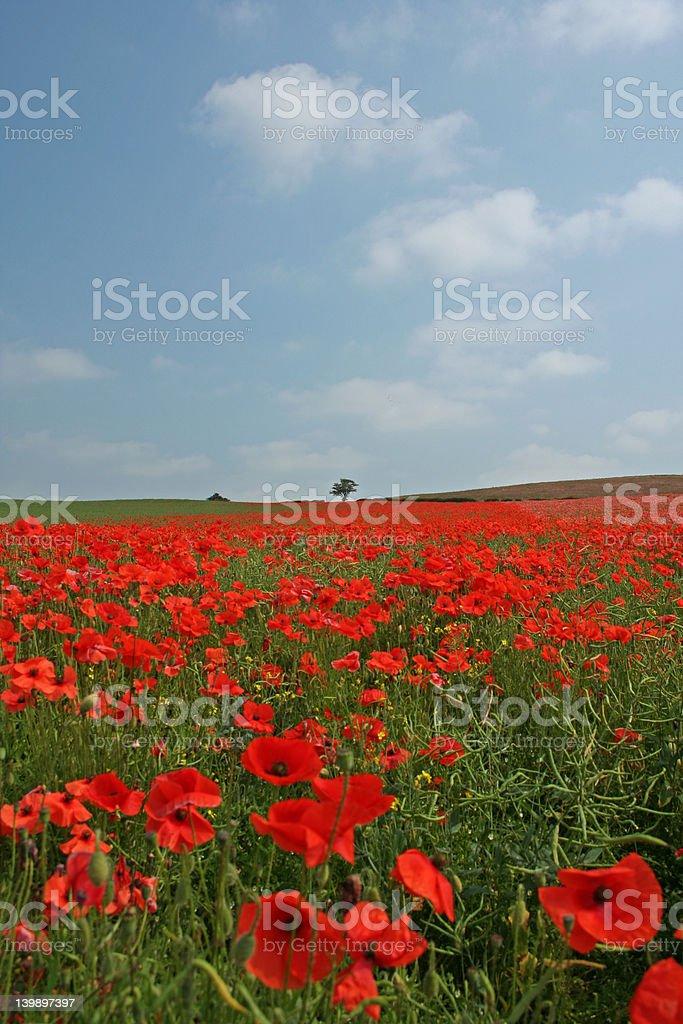 The Poppy Field stock photo