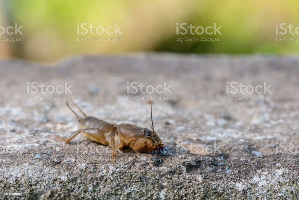 The portrait of a large insect living in the land - gryllotalpa stock photo