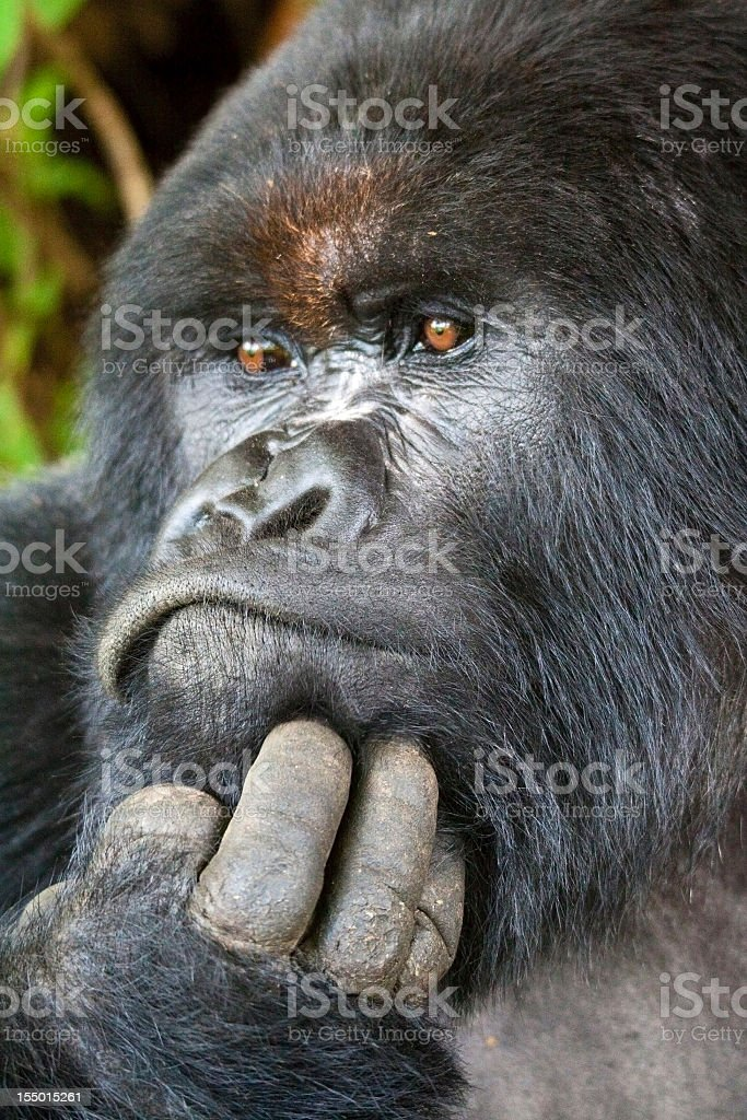 The portrait of a Silverback gorilla who has hand on chin stock photo
