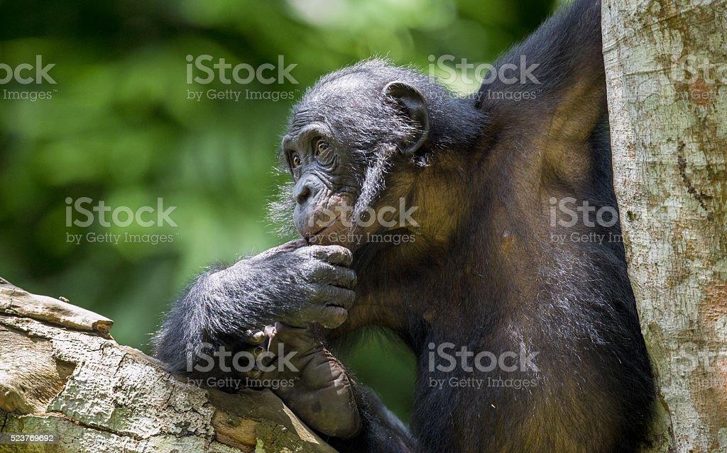The portrait of  juvenile Bonobo on the tree stock photo