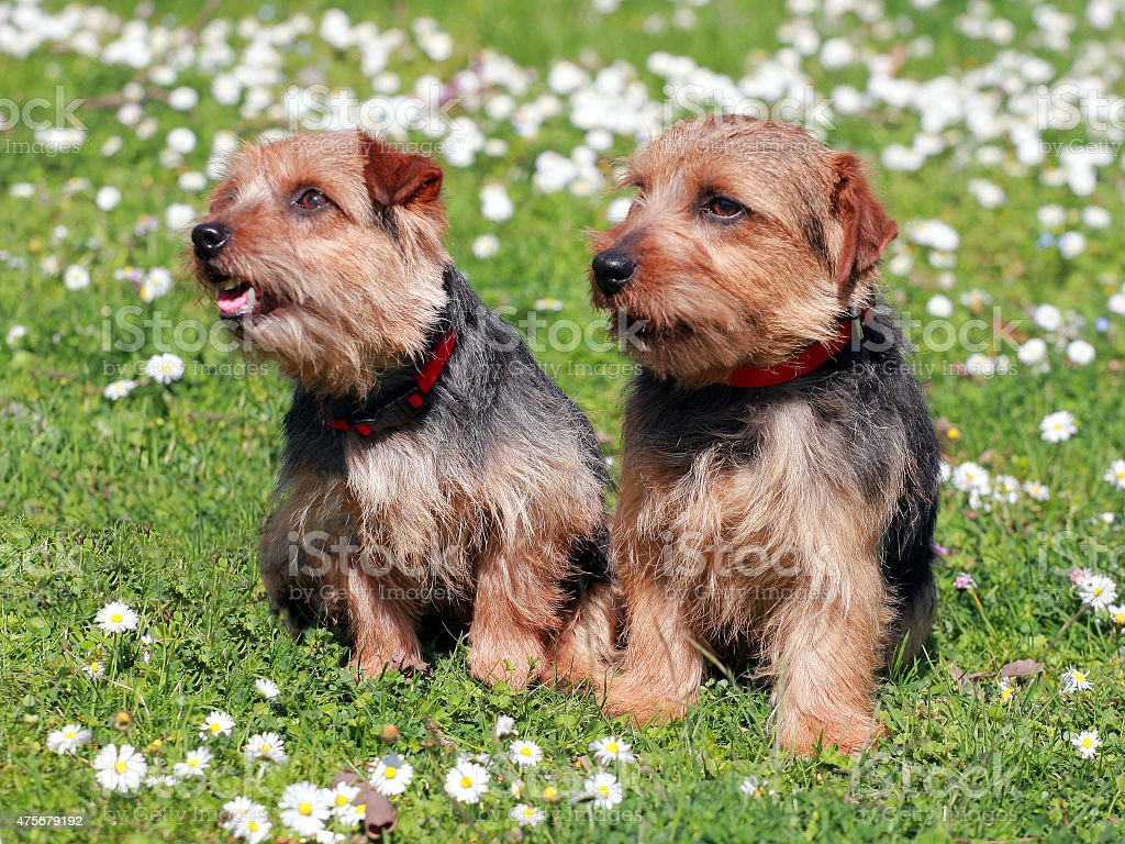 The portrait of pair Norfolk Terrier dogs stock photo