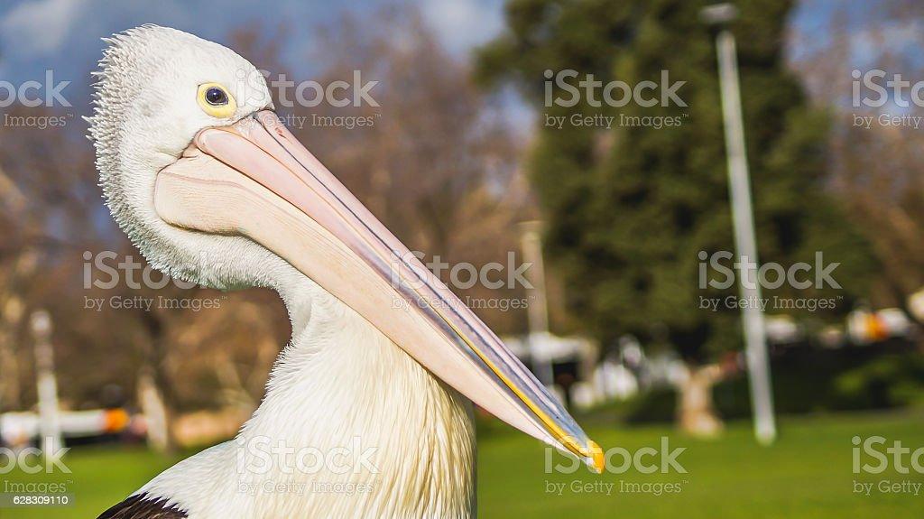 the portrait of pelican stock photo