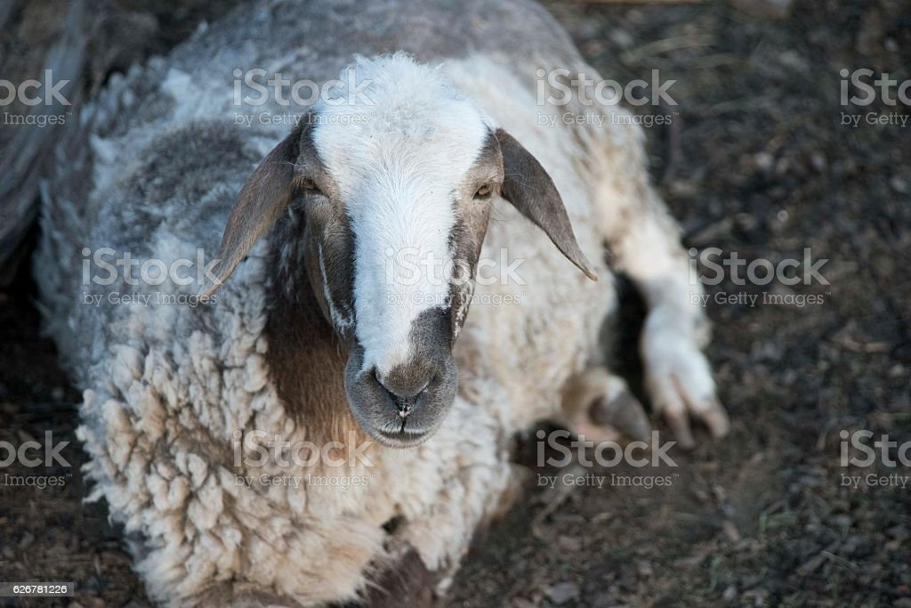 The portrait of sheep farming outdoor. stock photo