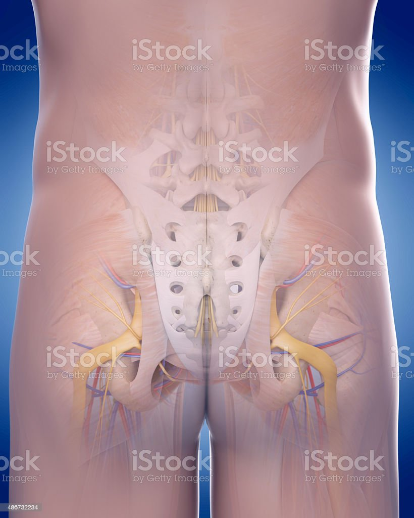 the posterior pelvic anatomy stock photo