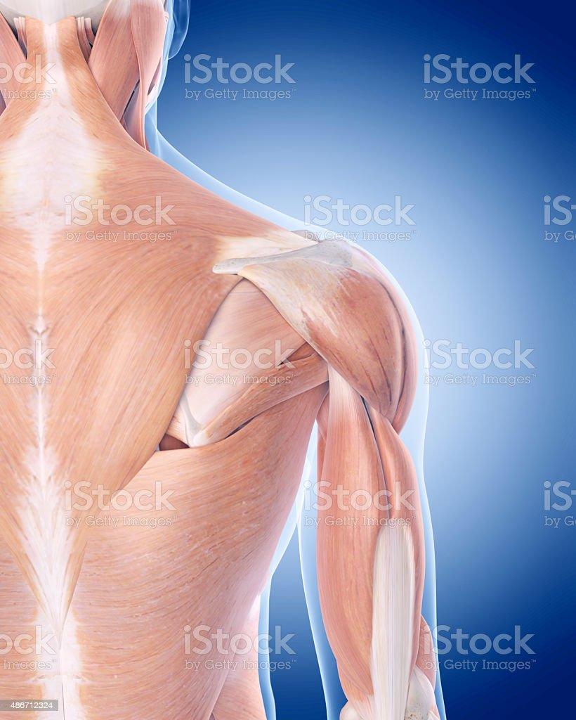 the posterior shoulder muscles stock photo