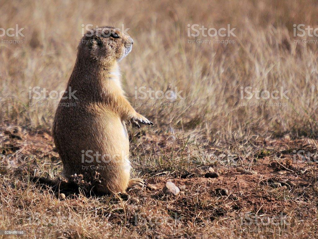 The Prairie Dog stock photo