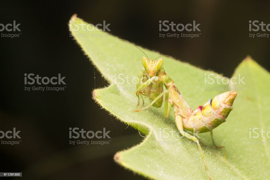 The praying mantis a predatory insect, fearsome with its raptori stock photo