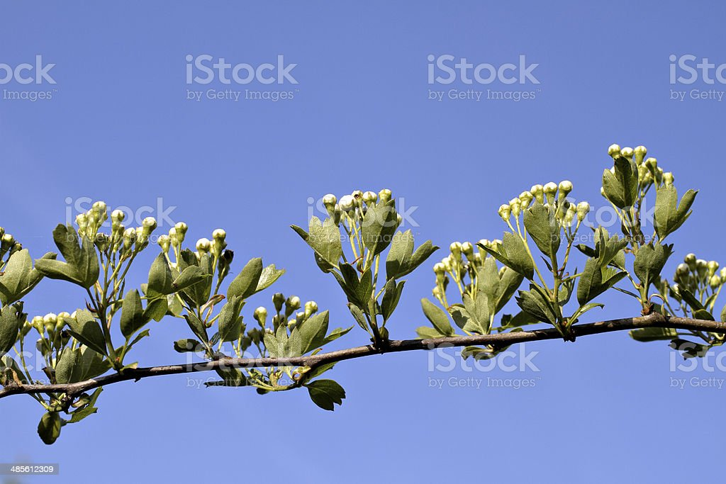 Darling buds of may blossom in April royalty-free stock photo