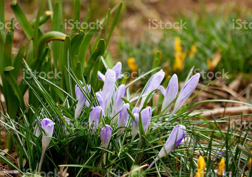 The primroses. The crocuses. stock photo