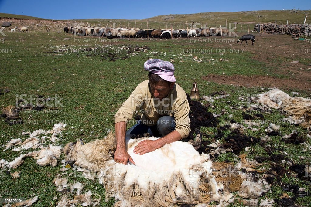 The process of sheep shearing in the of Hopa's valleys. stock photo
