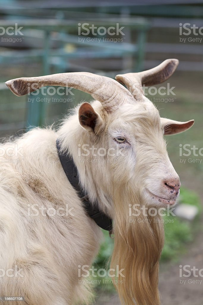The profile of a goat royalty-free stock photo
