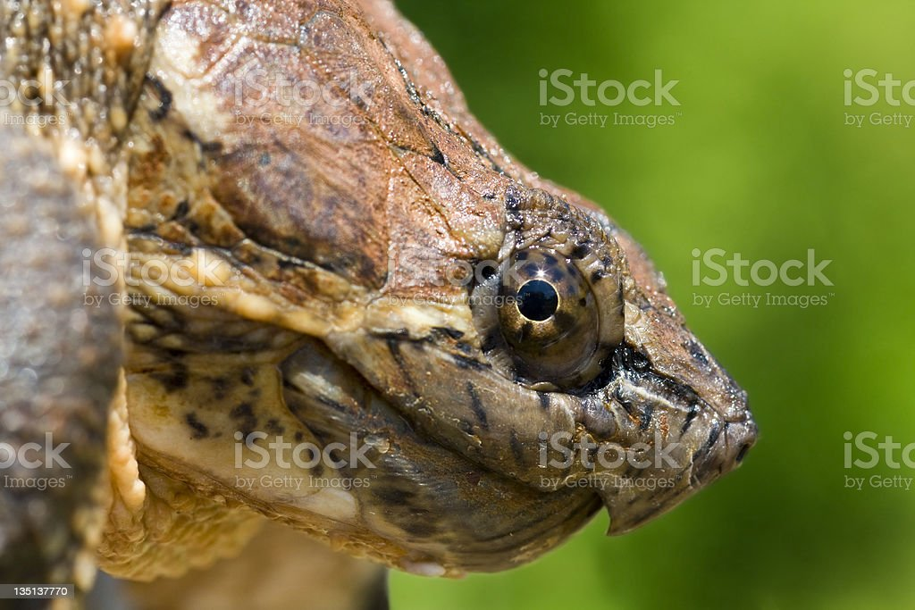 The Profile of a Snapping Turtle stock photo
