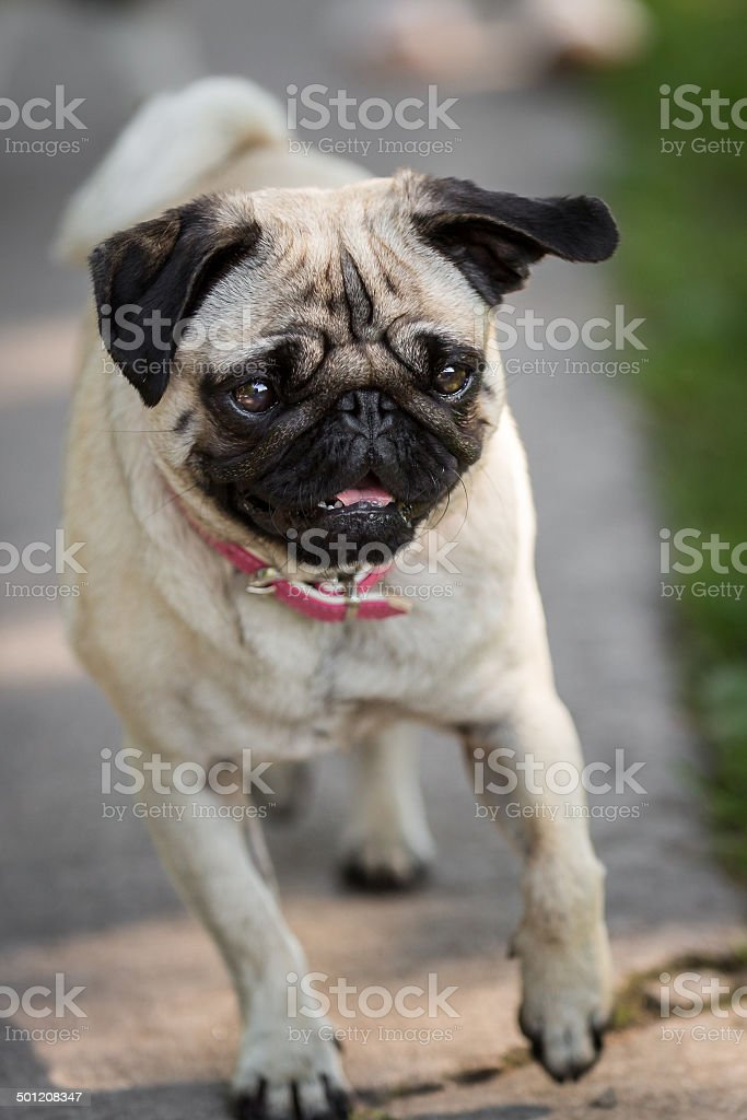 The Pug comes royalty-free stock photo