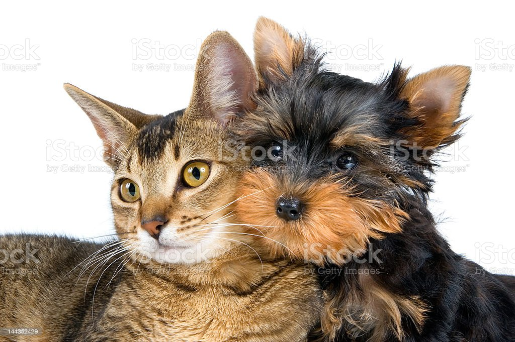 The puppy and kitten royalty-free stock photo