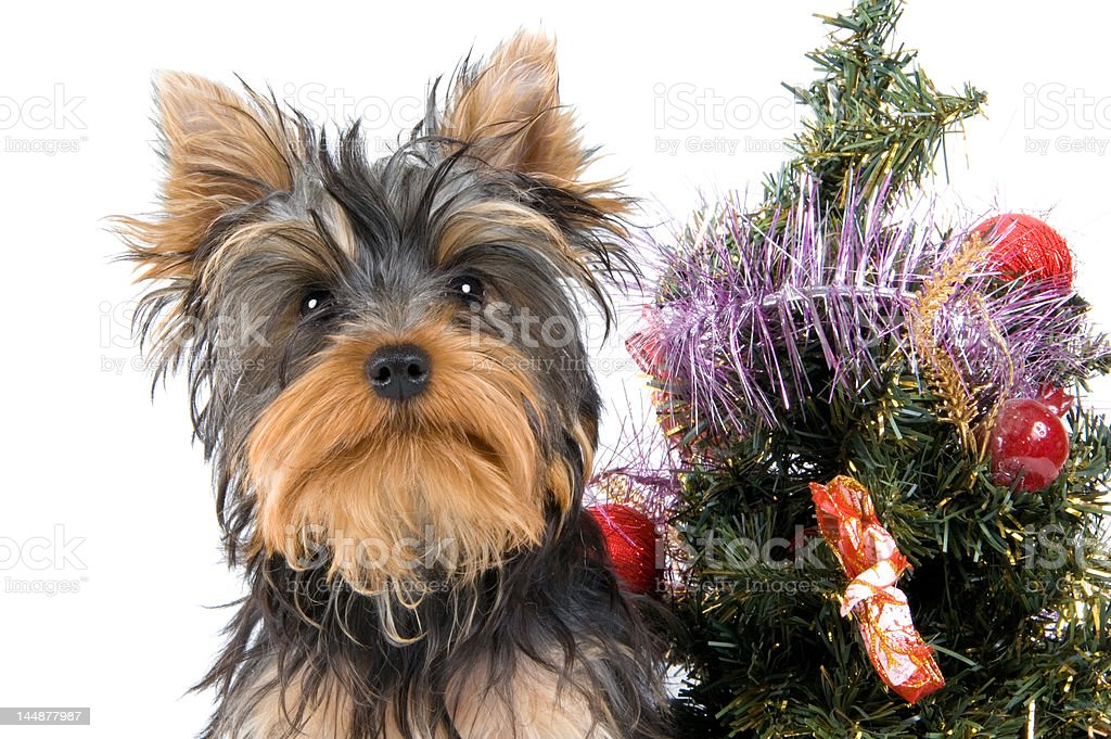 The puppy meets New Year royalty-free stock photo