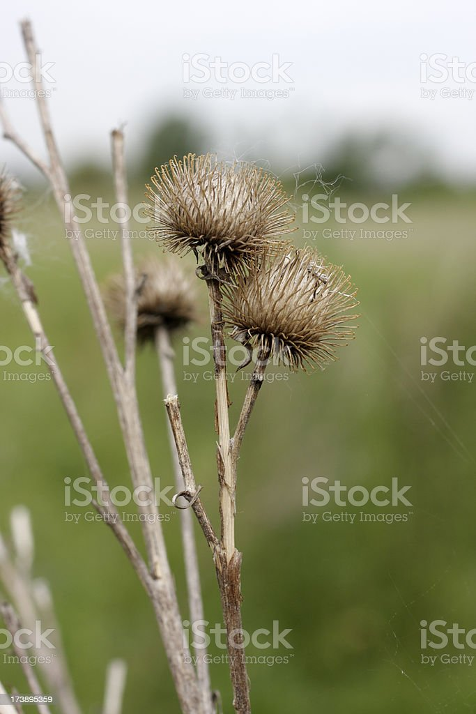 Hooked burrs of lesser burdock lead to Velcro stock photo