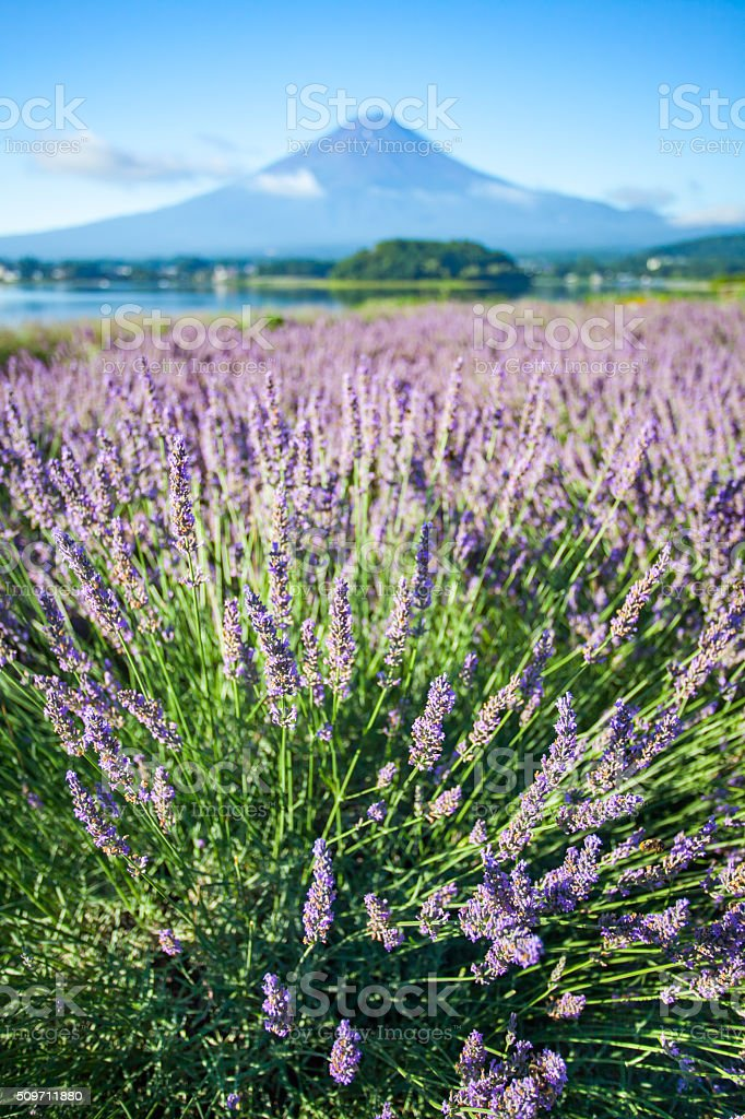 The purple color of lavender and Mountain Fuji stock photo