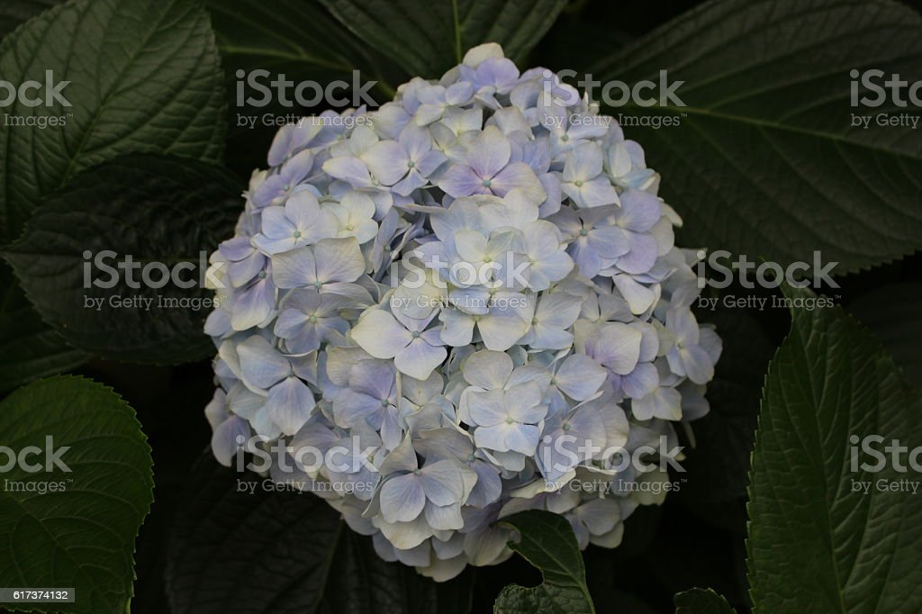 The purple flower among green leaves stock photo