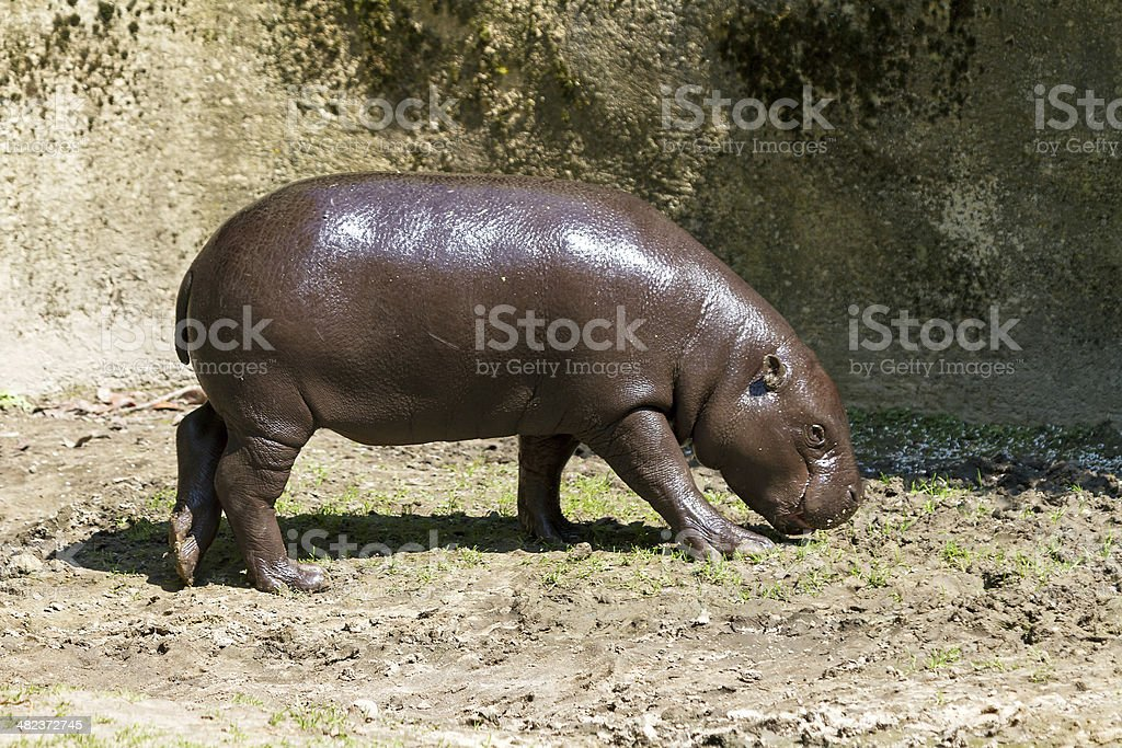 The pygmy hippopotamus stock photo