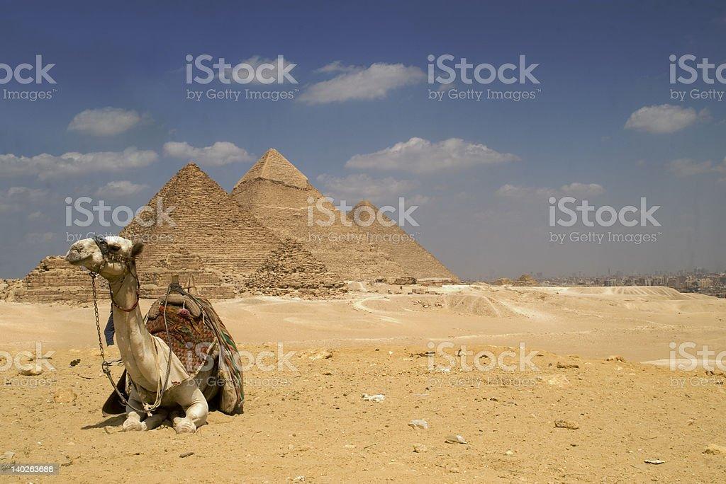 The Pyramids Camel stock photo