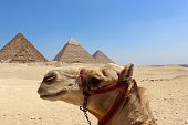 The Pyramids From A Camel's Back