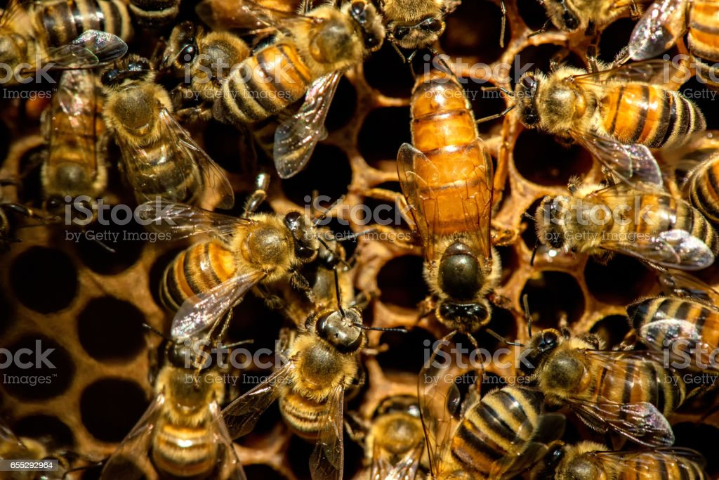 The queen bee swarm - selective focus stock photo