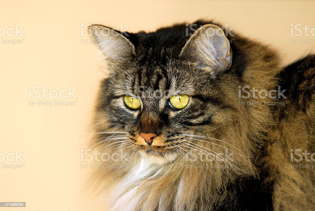The Queen Cat royalty-free stock photo