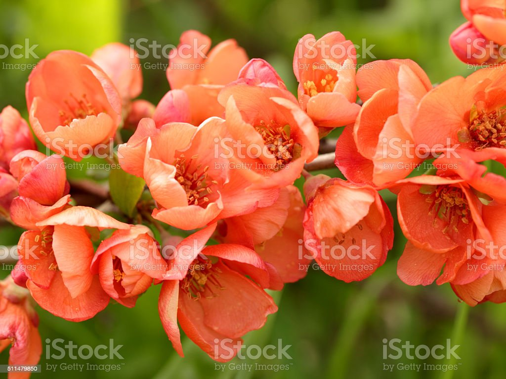 The quince branch with red flowers stock photo