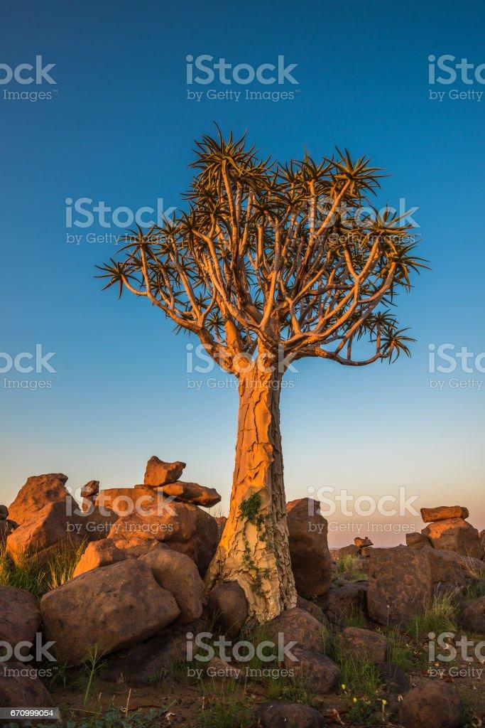 The quiver tree, or aloe dichotoma, Keetmanshoop, Namibia stock photo