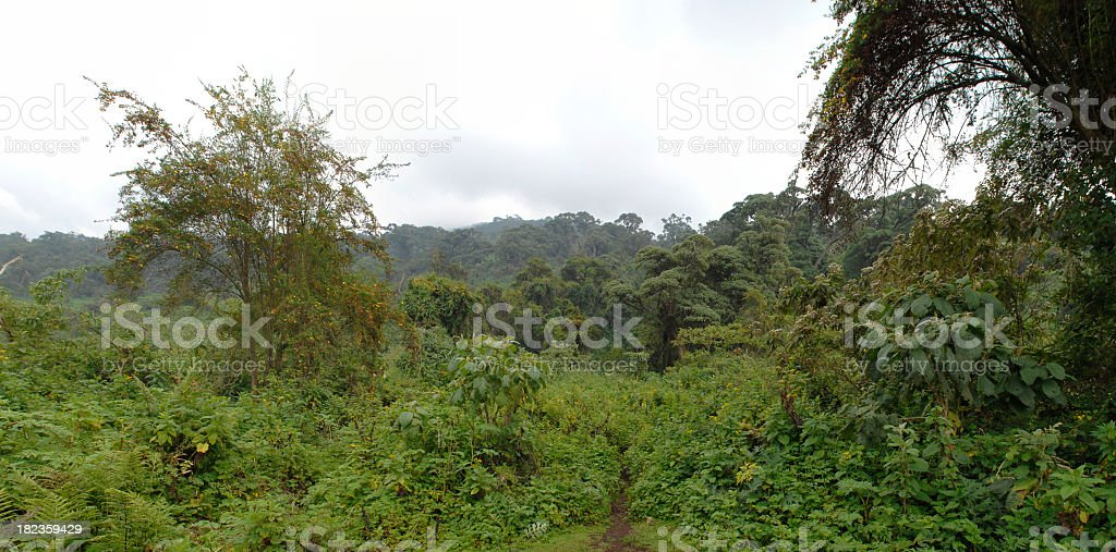 The rainforest on slope of Virunga - Rwanda stock photo