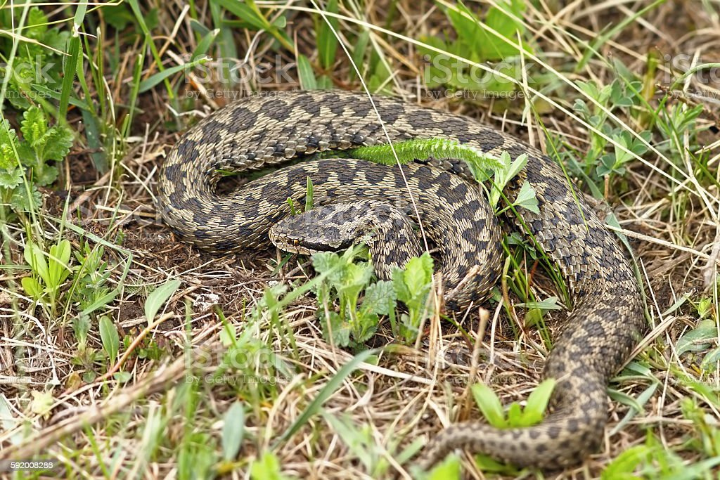 the rarest snake in Europe stock photo
