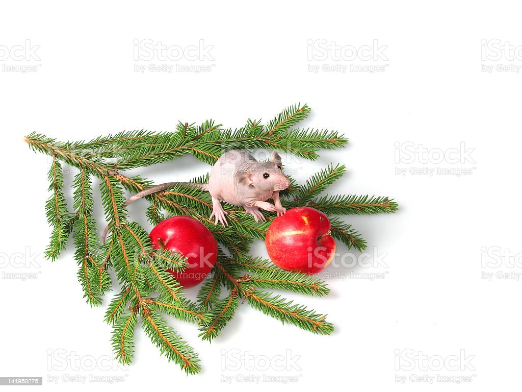 The rat gives a paw royalty-free stock photo