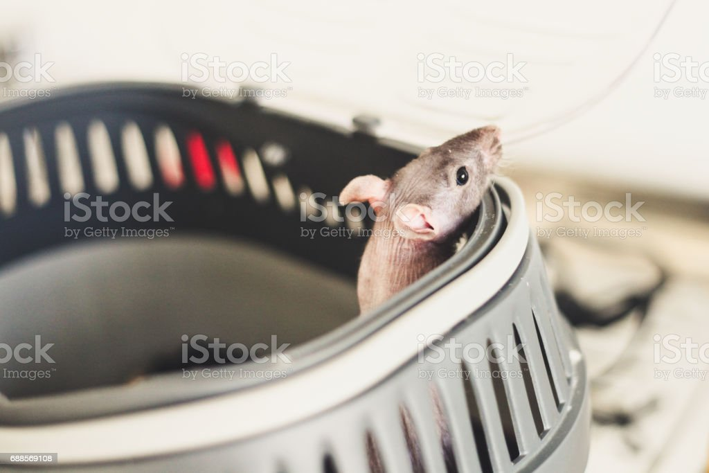 The rat is in a cage. Peeps out stock photo